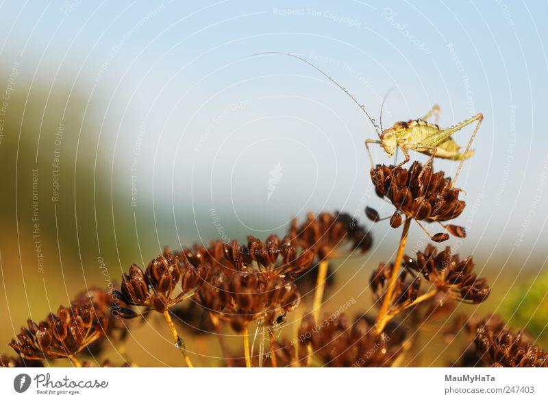 Grasshopper Natur Pflanze Tier Wasser Wassertropfen Himmel Sonnenaufgang Sonnenuntergang Sommer Klima Blüte Garten Park Feld Wildtier Wurm 1 blau braun gelb