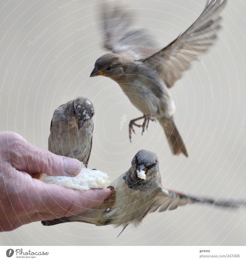 drei Mensch Hand Finger 1 Umwelt Natur Tier Wildtier Vogel Flügel 3 fliegen Fressen grau Spatz fliegend füttern Schnabel Farbfoto Außenaufnahme Menschenleer Tag