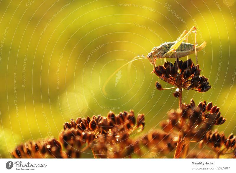 Grasshopper Natur Pflanze Tier Urelemente Wasser Wassertropfen Sonnenaufgang Sonnenuntergang Sonnenlicht Sommer Klima Blatt Garten Park Wildtier Wurm 1 klein