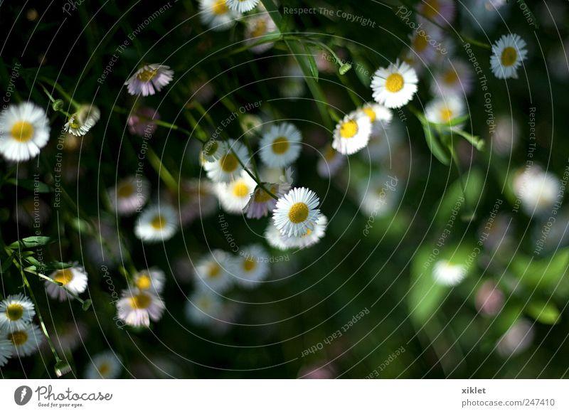 weiße Blumen Stiefmütterchen grün Blumen klein Blumen an der Wand Blüte Frühling Geruch Duftwasser erhängen fallen verblüht romantisch Beautyfotografie ländlich