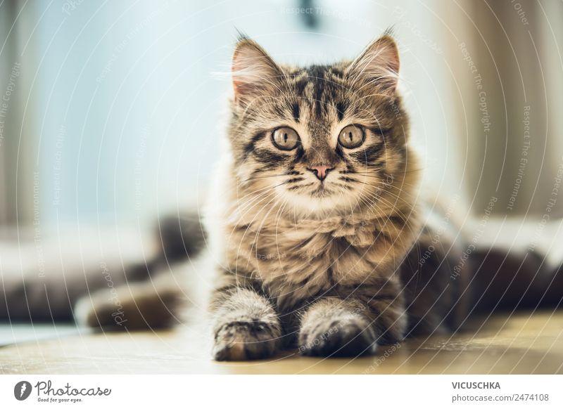 Portrait eines Sibirischen Kätzchens Katze Tier Lifestyle Häusliches Leben Design Katzenbaby