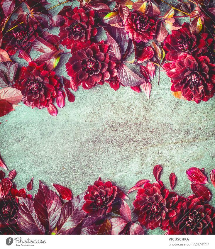 Dunkel rote Herbst Dahlien Hintergund Rahmen Stil Design Sommer Natur Pflanze Blume Blüte Dekoration & Verzierung Blumenstrauß Ornament Hintergrundbild Astern
