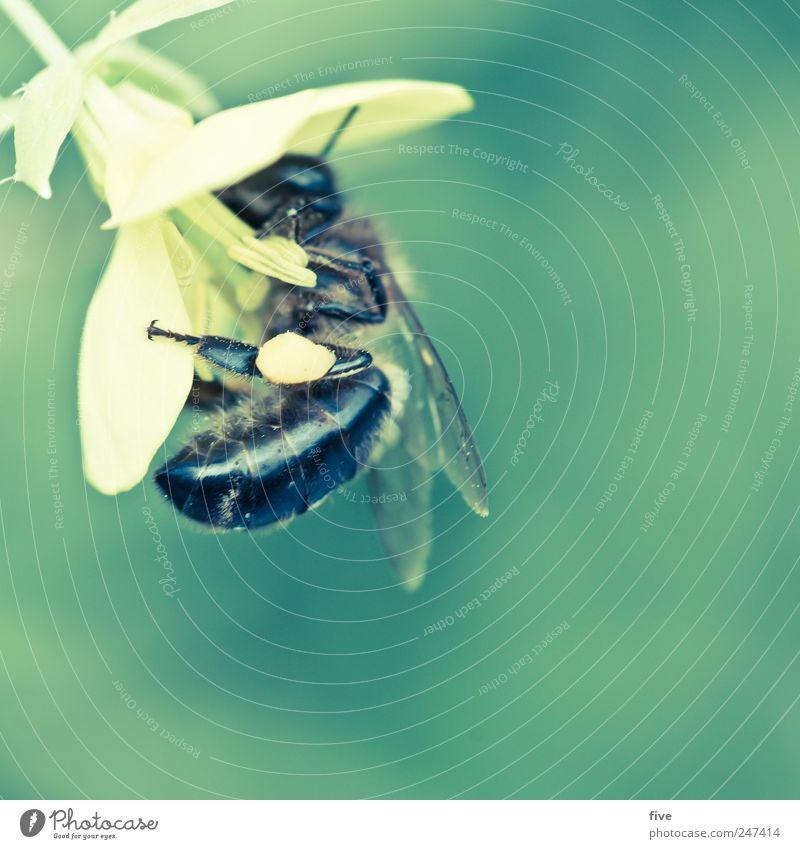 biene Natur Pflanze Sommer Blume Tier Garten Blüte Bewegung Arbeit & Erwerbstätigkeit fliegen Flügel entdecken