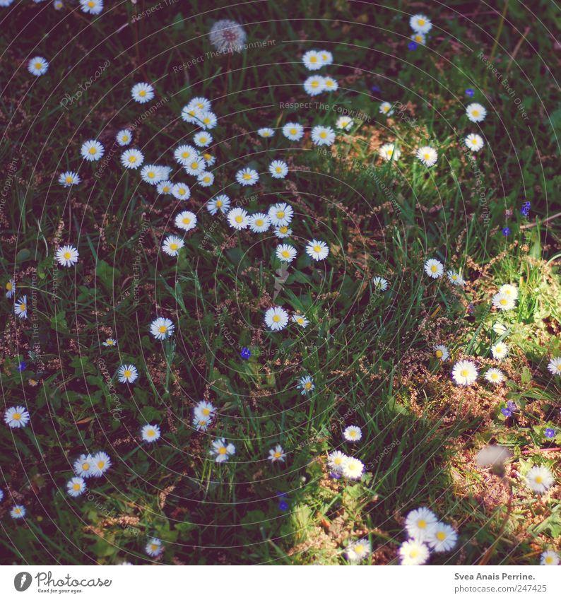 damals. Umwelt Natur Pflanze Blume Gras Löwenzahn Gänseblümchen Garten Wiese träumen Traurigkeit Sorge Einsamkeit Farbfoto Gedeckte Farben Außenaufnahme