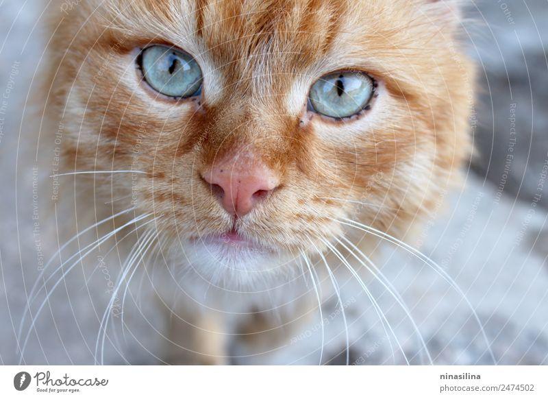 Rote Katze kam zum Fotoset. Tier Haustier 1 Fährte hell klug trist mehrfarbig Vertrauen Warmherzigkeit Tierporträt Blick Auge Farbfoto Nahaufnahme Menschenleer