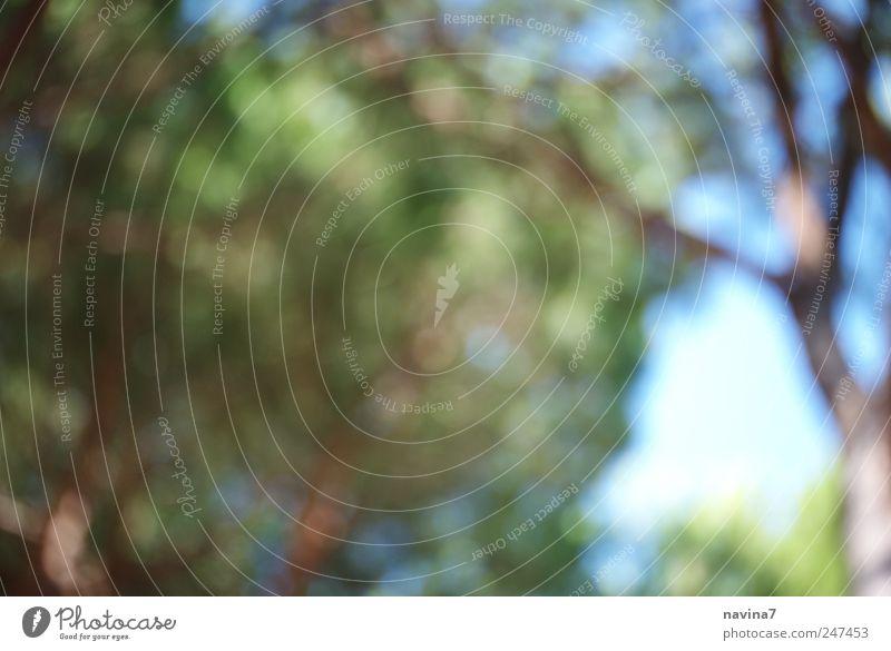 Pinienflimmern Baum grün Blatt Wald Klima Blätterdach