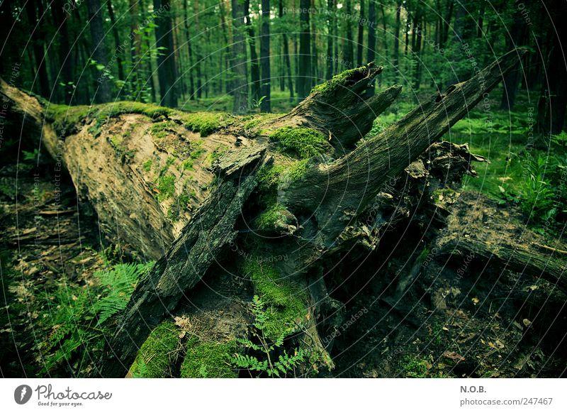 Morsch und feucht Natur alt grün Baum Pflanze Sommer Wald Tod Umwelt natürlich Wandel & Veränderung Vergänglichkeit Verfall Moos nachhaltig Kontrast