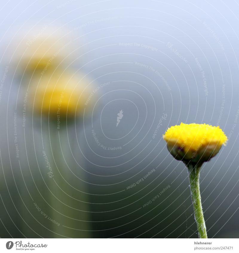 Natur schön Pflanze Sommer Blume gelb Farbe Wiese Garten Gras Blüte Umwelt hell klein Hintergrundbild frisch