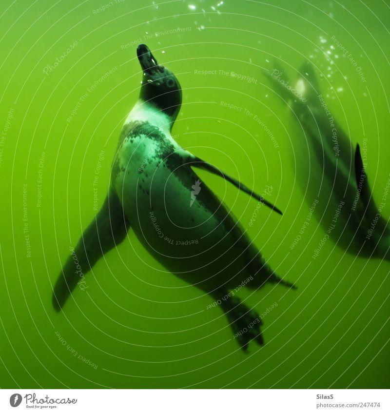 Schwerelos II Wasser weiß grün schwarz Tier Pinguin Schwerelosigkeit