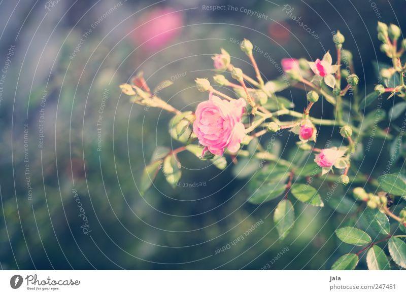 sah ein knab ein röslein stehn... Natur grün Pflanze Blume Blatt Blüte Umwelt rosa Rose natürlich