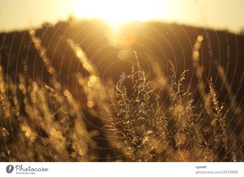 Gräserfeuerwerk 6 Natur Landschaft Pflanze Sommer Schönes Wetter Gras Wiese Feld genießen blond frei heiß hell gelb gold Glück Zufriedenheit Lebensfreude