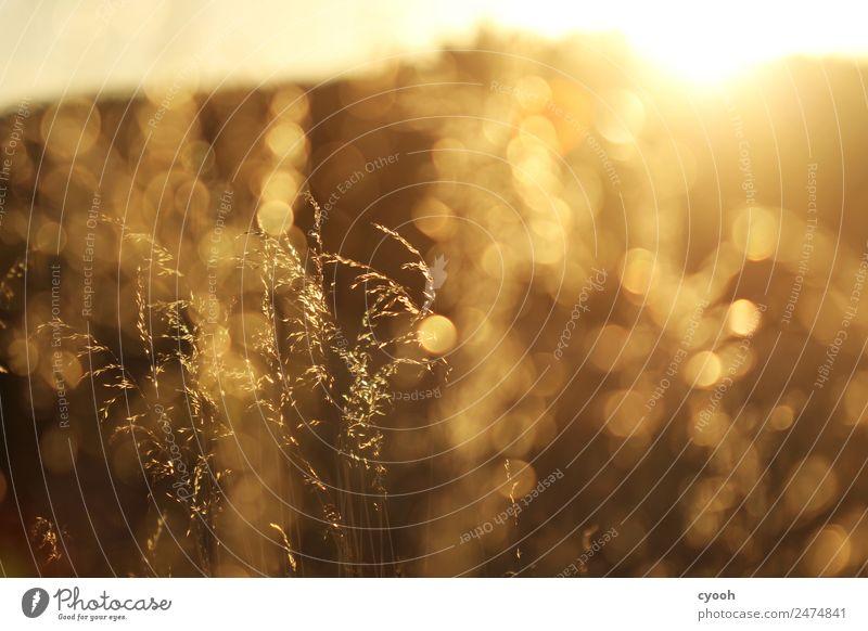 Gräserfeuerwerk 2 Natur Landschaft Pflanze Sommer Schönes Wetter Gras Wiese Feld glänzend leuchten Wachstum heiß hell gelb gold Leben Einsamkeit Farbe Freiheit