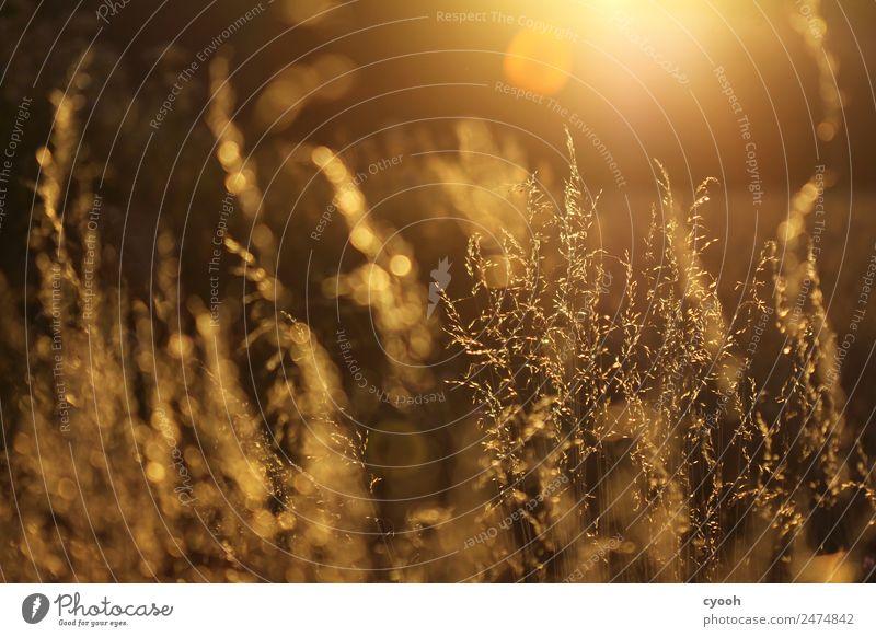 Gräserfeuerwerk 4 Natur Sommer Pflanze schön Farbe Landschaft ruhig Wiese Gras Glück Zeit Stimmung Zufriedenheit leuchten Feld gold