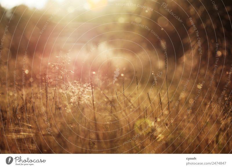 Gräserfeuerwerk 5 Natur Landschaft Pflanze Sonnenaufgang Sonnenuntergang Sonnenlicht Sommer Schönes Wetter Gras Wiese Feld heiß hell gelb gold Stimmung Romantik