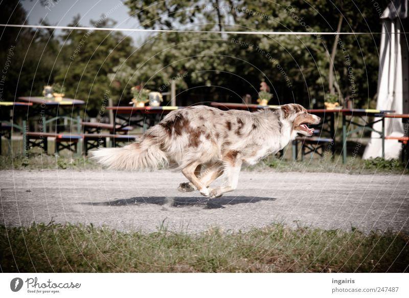 Hundegalopp Freude Tier Leben Bewegung springen Gesundheit elegant laufen frei rennen Geschwindigkeit ästhetisch Jagd frech Haustier