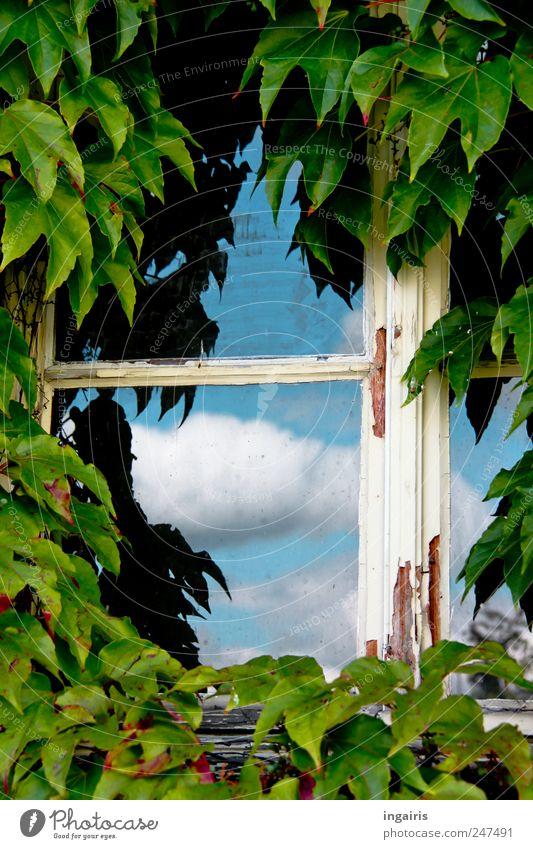 Fenster zum Himmel Haus Umwelt Wolken Efeu Gebäude Fassade alt Wachstum Häusliches Leben natürlich Glück Sicherheit Schutz Romantik authentisch Idylle Nostalgie