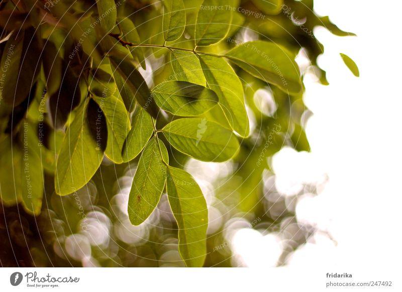 blatt für blatt Leben ruhig Meditation Frühling Schönes Wetter Baum Blatt Ast Blätterdach Baumkrone Blühend hängen Wachstum ästhetisch grün weiß Sauerstoff