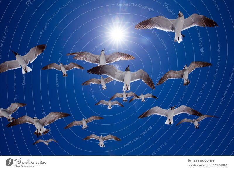 Möwen, die an einem sonnigen Tag am Himmel fliegen. Ferien & Urlaub & Reisen Tourismus Abenteuer Freiheit Sommer Sonne Insel Natur Tier Wetter Vogel frei hell