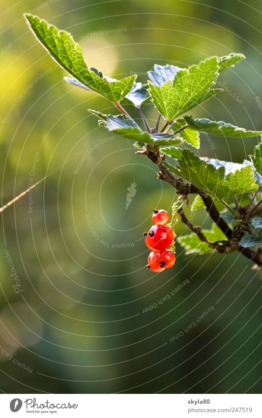 Sommerbeerchen Natur Ernährung Lebensmittel Frucht süß Sträucher Beeren Johannisbeeren