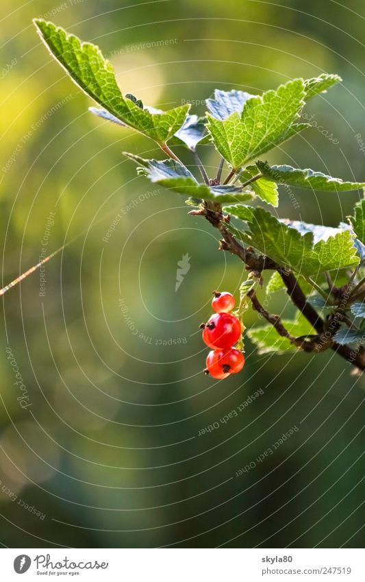 Sommerbeerchen Natur Sommer Ernährung Lebensmittel Frucht süß Sträucher Beeren Johannisbeeren