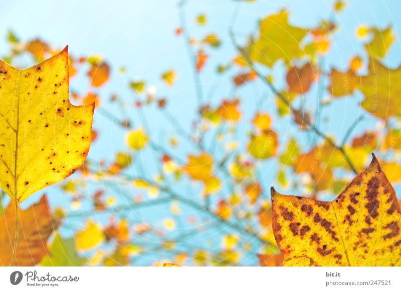 Herbst, zitronig frisch Himmel Natur Ferien & Urlaub & Reisen blau Pflanze Baum Blatt gelb Stimmung Tourismus Dekoration & Verzierung gold Geburtstag Klima