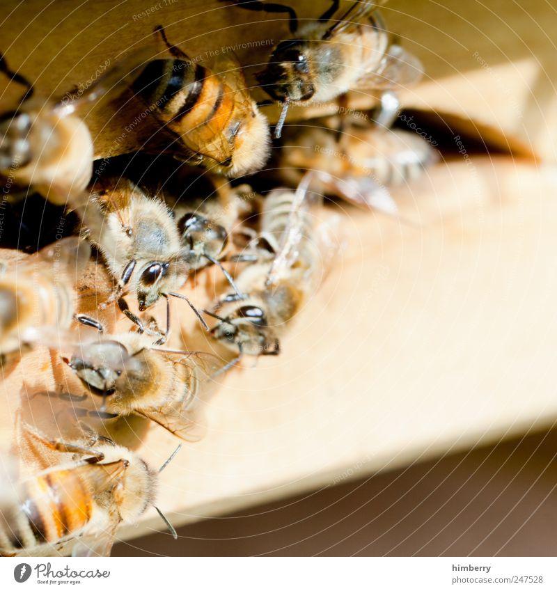 bienenstich Natur Tier Umwelt Angst Lebensmittel Fliege Wachstum Ernährung Tiergruppe bedrohlich Team Güterverkehr & Logistik Kontakt Schutz Landwirtschaft