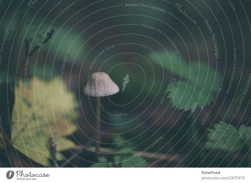 Waldpilze Natur Pflanze Erde Wind Regen überbevölkert Menschenleer natürlich wild grün Steinpilze Messing essbar Pilz Farbfoto Außenaufnahme