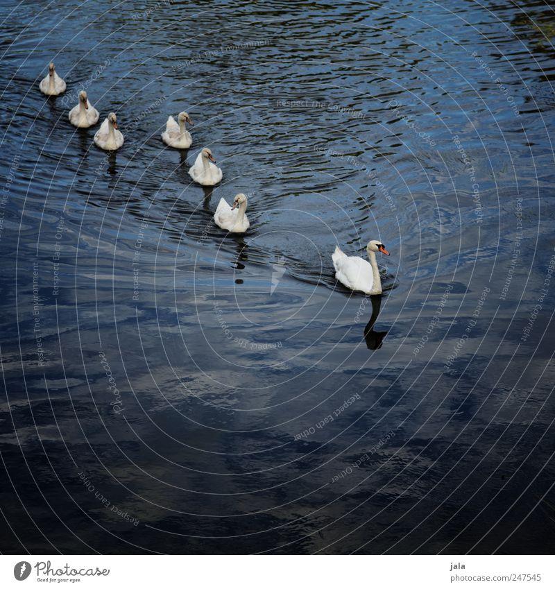 familienausflug weiß blau Tier Vogel elegant ästhetisch natürlich Fluss Wildtier Tiergruppe Schwan Tierfamilie