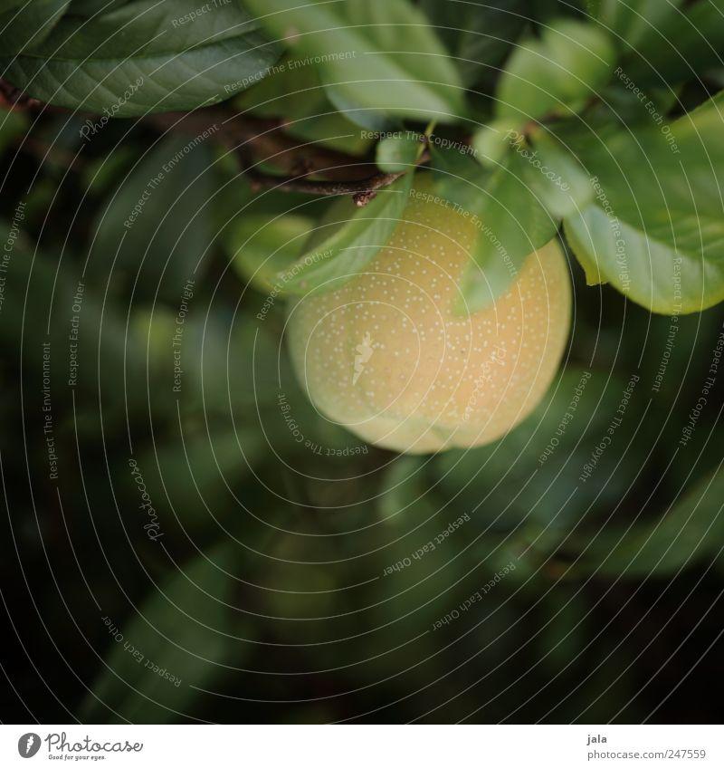 quitte Natur grün Pflanze Blatt gelb Umwelt natürlich Sträucher Nutzpflanze Quitte