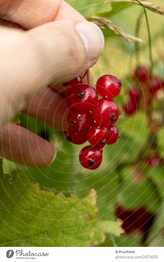 Johannisbeerstrauch Frucht Bioprodukte Mann Erwachsene Hand Finger Sommer Pflanze Sträucher Diät wählen Bewegung entdecken Essen festhalten frisch Gesundheit