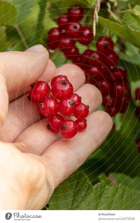 Rote Johannisbeeren Lebensmittel Frucht Bioprodukte Mann Erwachsene Hand 30-45 Jahre Pflanze Sträucher festhalten hängen frisch rot Beeren Ernte reif fruchtig