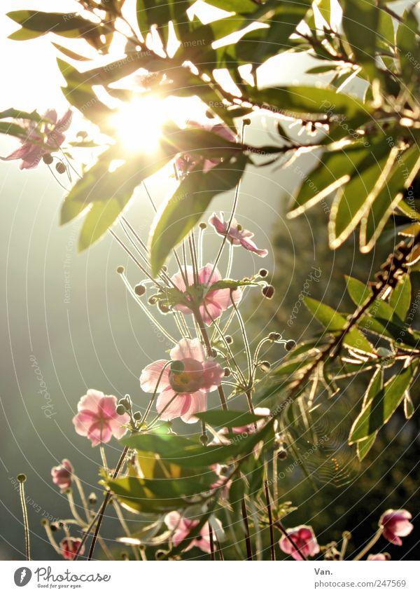 der Sonne entgegen² ruhig Umwelt Natur Pflanze Sommer Schönes Wetter Baum Blume Sträucher Blatt Blüte Grünpflanze Garten frisch hell schön Wärme grün rosa
