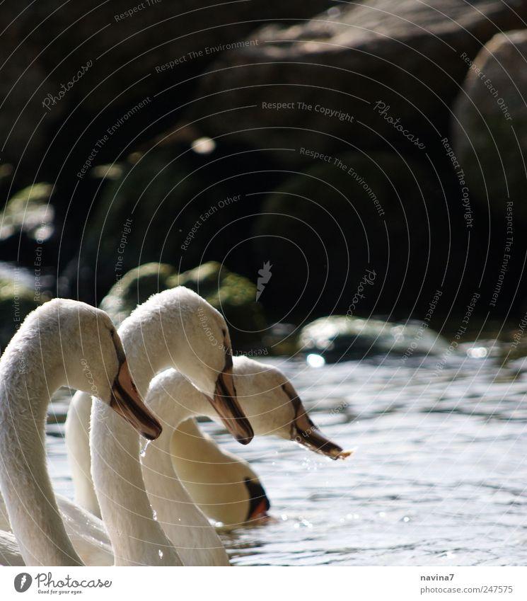 Schwäne weiß Tier Zusammensein Fressen Schwan Treue Schwarm Vogel Tierfamilie