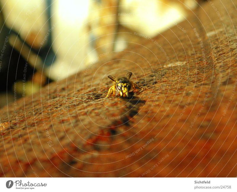 Flotte Wespe Natur Tier Freiheit Rost Angriff Wespen