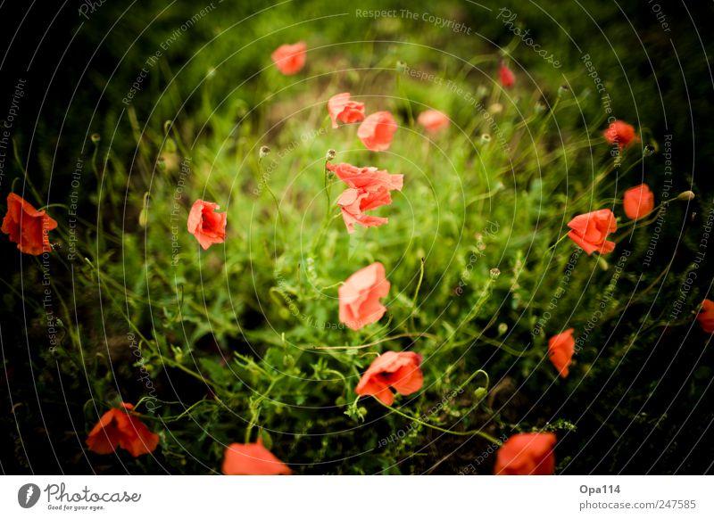 mehr Mohn Umwelt Natur Landschaft Pflanze Tier Sommer Schönes Wetter Blume Gras Sträucher Blatt Blüte Grünpflanze Nutzpflanze Garten Wiese Feld Blühend Wachstum