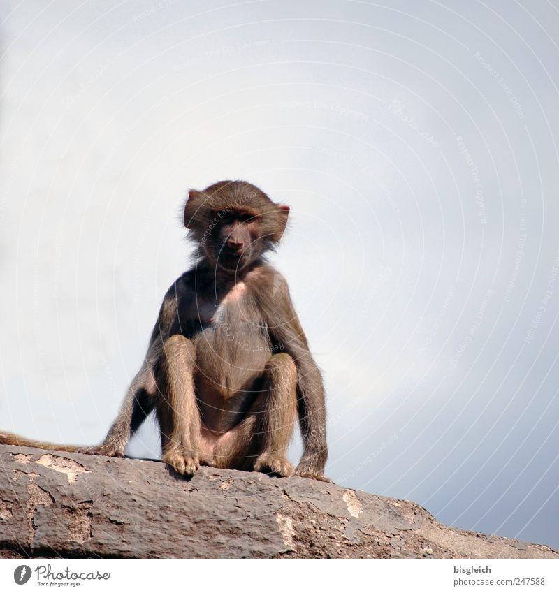 Äffchen II Himmel blau Tier grau klein Felsen sitzen Wildtier niedlich Neugier Zoo Interesse Affen Pavian