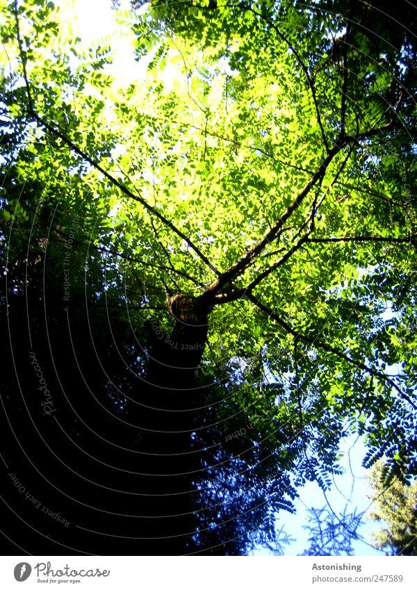 Blätterdach Umwelt Natur Pflanze Himmel Sommer Wetter Schönes Wetter Baum Blatt Wald hoch blau grün schwarz Laubbaum Ast Geäst Farbfoto Außenaufnahme