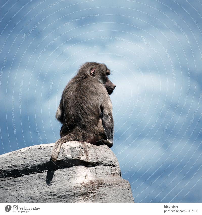 Alphatier Himmel blau Wolken Tier grau warten sitzen Felsen Wildtier Zoo Affen dominant Pavian
