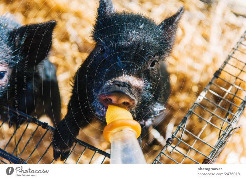 Flaschengefütterte Ferkel trinken Milch Nutztier Streichelzoo 1 Tier füttern gelb schwarz Tierjunges Schwein Hängebauchschwein Milchflasche Tupfer Nase Schnauze