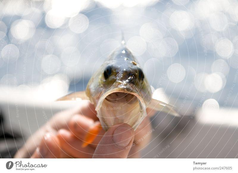 Hungriger_Barsch grün Freude Tier Tierjunges Freizeit & Hobby Kraft nass groß Fisch Tiergesicht nah fantastisch stark Leidenschaft Appetit & Hunger Aggression