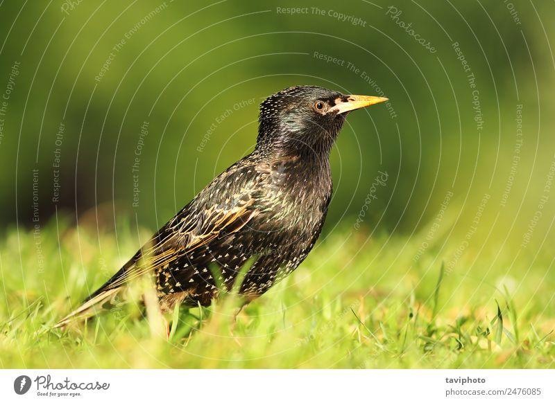 Nahaufnahme des gemeinsamen Starlinges schön Garten Natur Tier Park Vogel niedlich wild grün schwarz Farbe Sturnus vulgaris Gefieder Tierwelt Schnabel Flügel