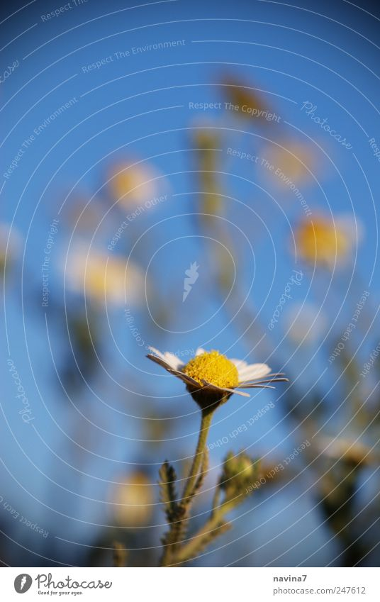 Sonnenanbeterin Natur blau Pflanze Sommer gelb Garten Blüte Glück Duft Wildpflanze Kamillenblüten