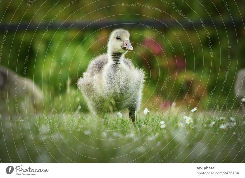süßes Gänschen auf dem Rasen Essen Baby Natur Tier Gras Park Vogel füttern klein natürlich niedlich gelb grün weiß Einsamkeit Gössel fluffig jung Frühling eine