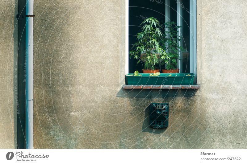 EIGENBEDARF Natur Pflanze Sommer Blatt Umwelt Fenster Wand Gras Mauer Garten Fassade Schönes Wetter Urelemente Balkon exotisch Rauschmittel