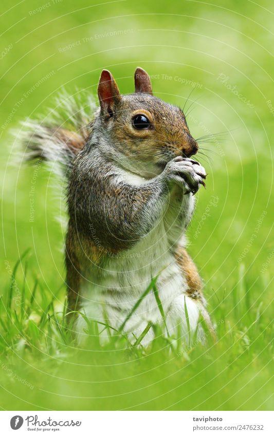 graues Eichhörnchen im Park Essen schön Natur Tier Gras füttern stehen Freundlichkeit klein natürlich niedlich wild braun grün Appetit & Hunger Ischias