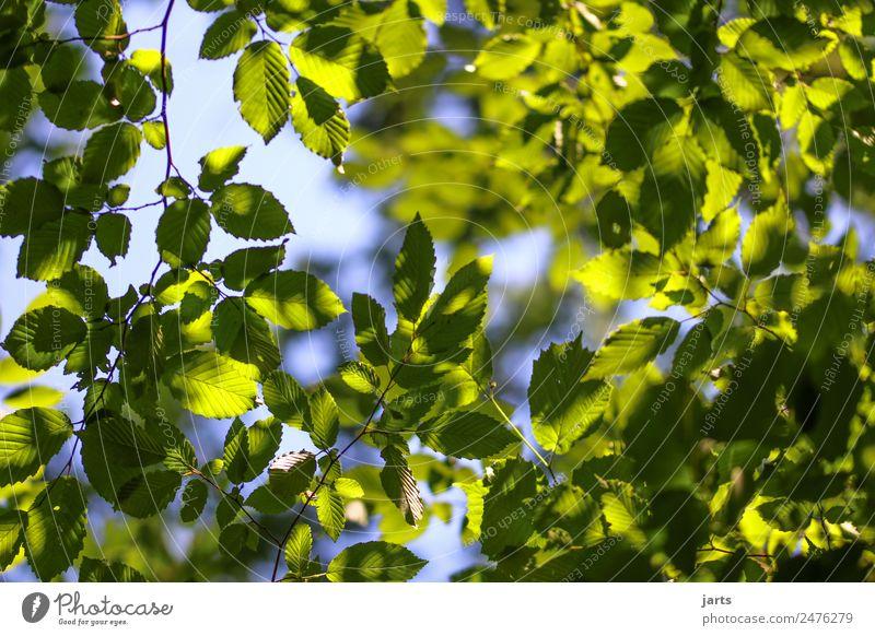 grünundblau Natur Pflanze Himmel Schönes Wetter Baum Blatt Wald frisch natürlich Gelassenheit ruhig Hoffnung Buchenwald Buchenblatt Farbfoto Menschenleer Tag