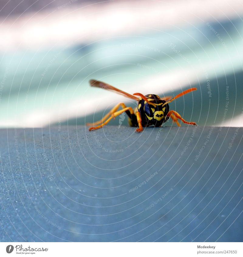 Bitte um Flugerlaubnis Tier Wildtier Wespen 1 bedrohlich frech natürlich Neugier stark blau braun mehrfarbig gelb gold grau rosa schwarz weiß böse Fühler Kopf