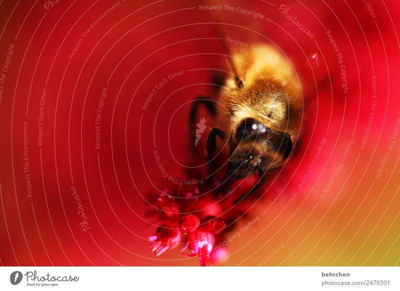 in rot gebettet Natur Pflanze Tier Sommer Blume Prachtspiere Garten Wiese Wildtier Biene Tiergesicht Flügel Insekt 1 fliegen Fressen schön Honig Nektar Pollen