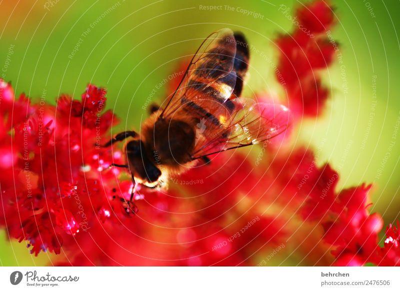 verborgen Natur Pflanze Tier Sommer Blume Blüte Prachtspiere Garten Wiese Wildtier Biene Tiergesicht Flügel 1 Blühend Duft fliegen Fressen schön klein rosa rot