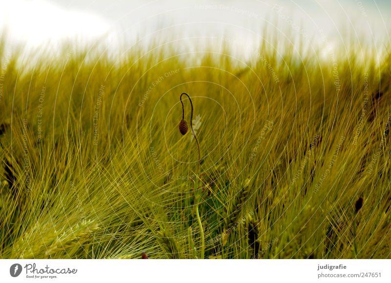 Sommer Natur Pflanze Sommer Wiese Umwelt Stimmung Feld natürlich wild Wachstum Getreide Landwirtschaft Mohn Blütenknospen Forstwirtschaft Ähren